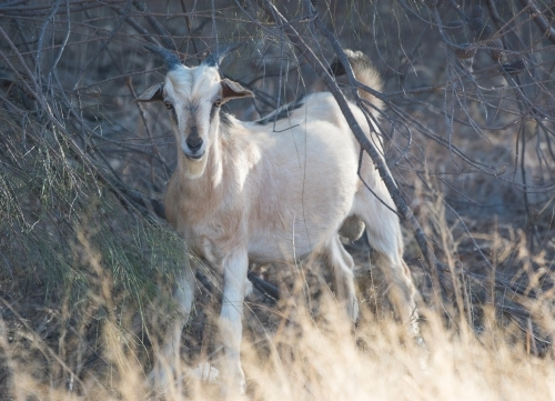 Wild goat surrounded by bushland looking at camera.