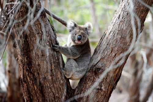 Windswept koala clinging to eucalyptus tree
