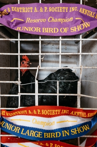 Winning Show Hen with ribbons at country show