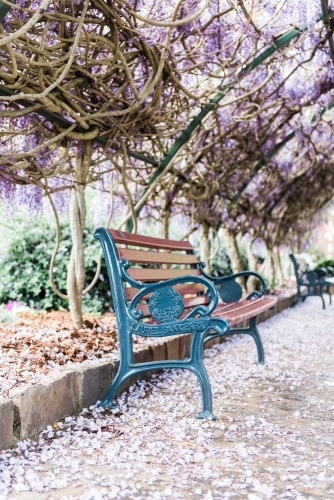Wisteria walkway with park bench seat in spring