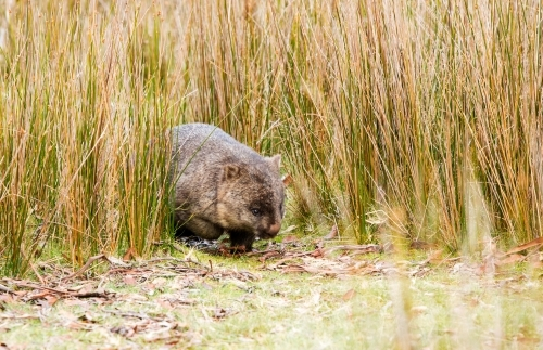 wombat walking through reedy grass