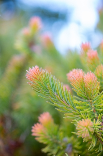 Woolly bush foliage green with pink tips