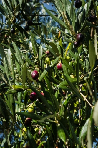 Olive tree with some mature fruit