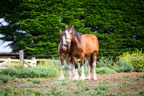 A well matched pair of clydesdale horses standing in the paddock