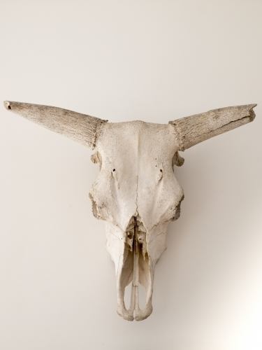 Western style bull skull used as decoration
