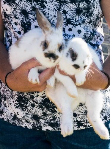 Person holding two cute bunny rabbits