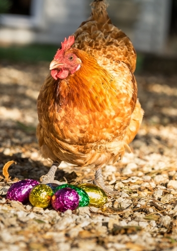 Chicken and shiny Easter eggs