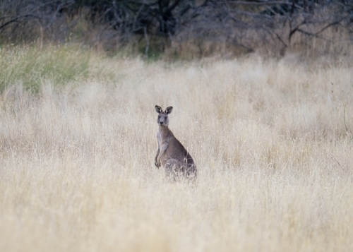 Australian kangaroo stands in the landscape
