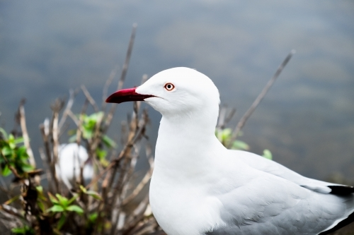 Close up of sea gull