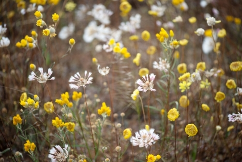 Yellow and white wildflowers in western Australia