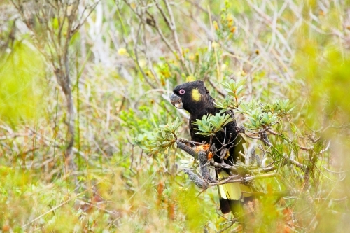 A Yellow-tailed Black-Cockatoo eating Banksia seeds
