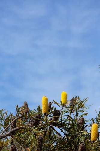 Yellow candlestick banksia flowers on tree with blue sky