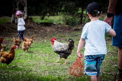 Young boy collecting eggs holding adult hand with free range chickens and rooster in the background