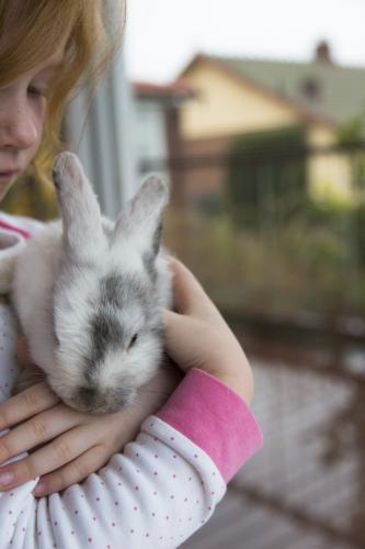 Young girl holding a grey and white mini lop rabbit