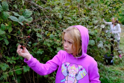 Young girl picking blackberries from a bush in country Victoria with her Mum in the background