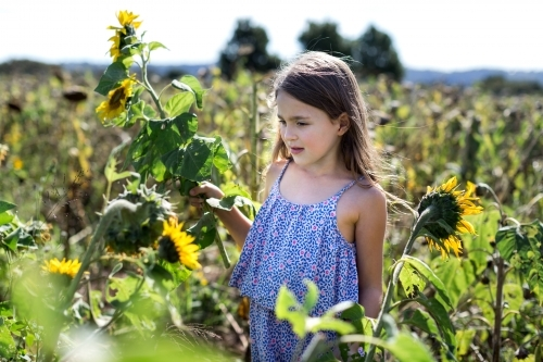 Young girl picking sunflowers in a field