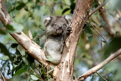 Young koala looking out from gum tree