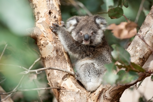 Young koala watching from eucalyptus tree