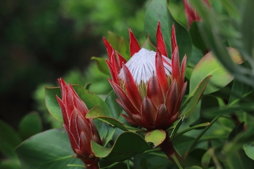 Young protea flower almost ready for full bloom alongside a young proea bud