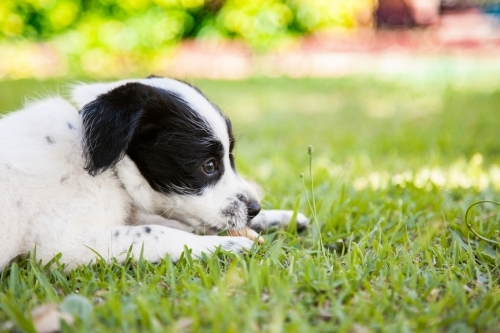 Young puppy dog on lying on grass in the backyard