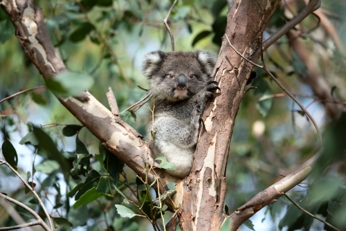 Young wild koala sitting in gum tree